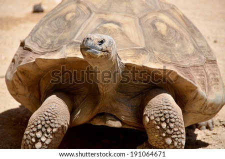 The Gala�¡pagos tortoise or Gala�¡pagos giant tortoise is the largest living species of tortoise and the 13th-heaviest living reptile, reaching weights of over 400 kg and lengths of over 1.8 meters. - stock photo