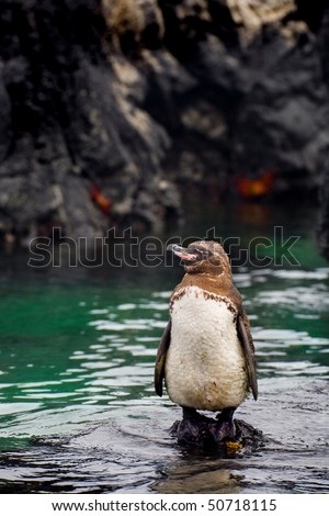 The Galapagos Penguin (Spheniscus mendiculus) is a penguin endemic to the Gal?pagos Islands - stock photo