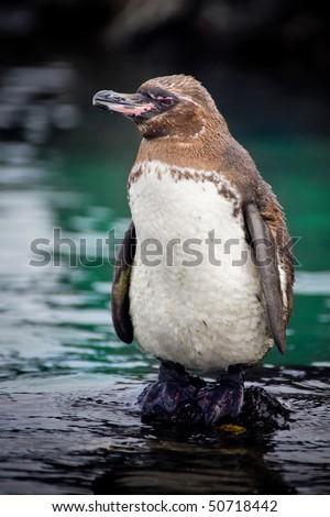 The Galapagos Penguin (Spheniscus mendiculus) is a penguin endemic to the Galapagos Islands - stock photo