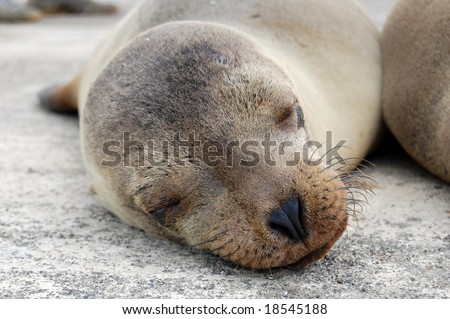 The Galapagos Sea Lion is a specie of mammal endemic to Ecuador. Being one of the most numerous of the archipelago species, they are often spotted sun-bathing on sandy shores or rock groups. - stock photo