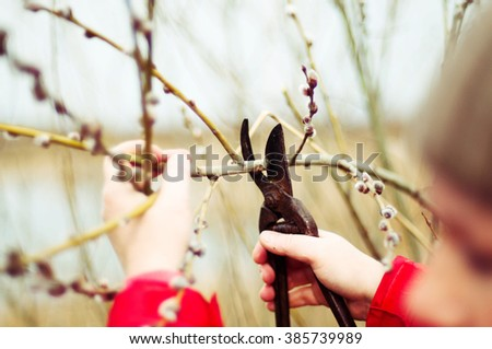 The gardener cuts the branches of trees in the garden. Pruning trees by pruning shears. Pruning an fruit tree - Cutting Branches at spring. cutting branches in vineyard in spring - stock photo