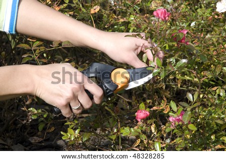 The gardens scissors cutting the rose - stock photo