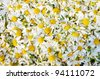 The gathering of medicinal herbs. Drying herbs. Wild daisies. - stock photo