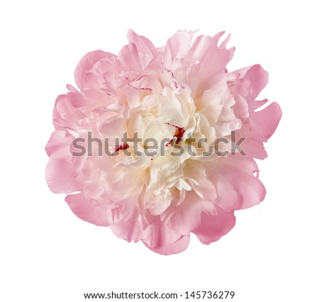 the gentle pink peony is isolated on the white - stock photo