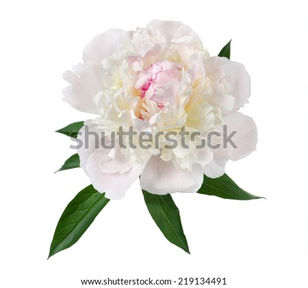 the gentle pink peony is isolated on the white