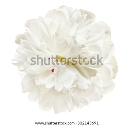 the gentle white peony is isolated on the white - stock photo