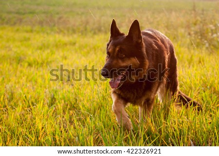 The German shepherd goes after the meadow in the rain, his name Aran Black Wolf