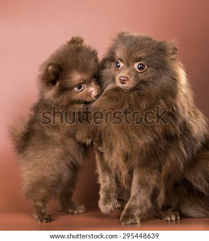 The German spitz-dog with a puppy in studio - stock photo