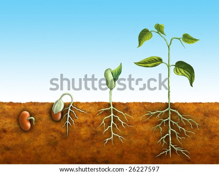 The germination process for a bean plant. Digital illustration. - stock photo