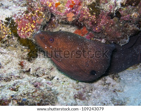 The giant moray peeks out from under some rocks on the ocean floor.  This is a large eel, reaching up to 300 cm (10.0 ft) in length and 30 kg (66.1 lbs) in weight. - stock photo