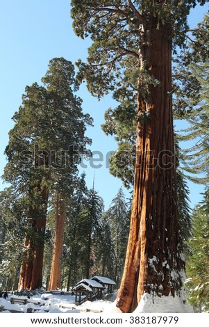The Giant Sequoia Trees covered in snow - stock photo