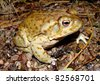 The Giant Sonoran Toad, Anaxyrus or Bufo alvarius - stock photo