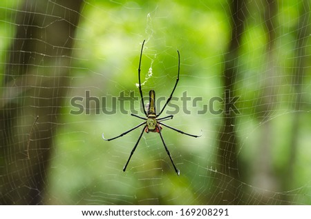 The Giant wood spider (Nephila maculata/nephila pilipes), AKA the Golden Orb Weaver or Banana Spider, is one of the largest spiders in the world & is known for it's striking black & yellow coloring.  - stock photo