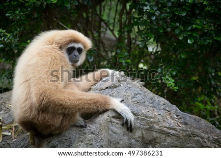 The Gibbon on The Stone