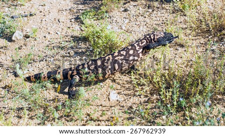 The Gila monster (Heloderma suspectum)  - venomous lizard is lifting his feet high and pokes tongue - stock photo