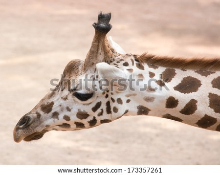 The giraffe (Giraffa camelopardalis) is an African even-toed ungulate mammal, the tallest living terrestrial animal and the largest ruminant. - stock photo