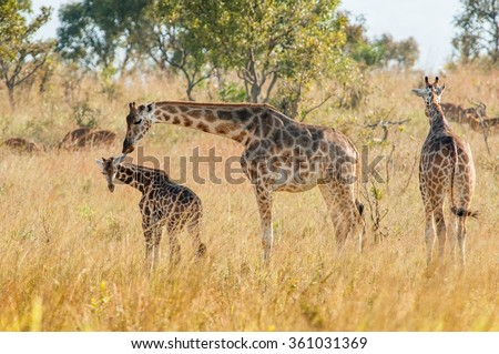 The giraffe licks a cub . Uganda. Queen Elizabeth National Park.The giraffes on savanna. Giraffa camelopardalis. - stock photo