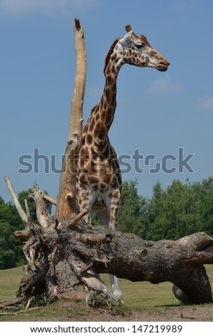The giraffe or Giraffa camelopardalis is an African even-toed ungulate mammal, the tallest living terrestrial animal and the largest ruminant. - stock photo