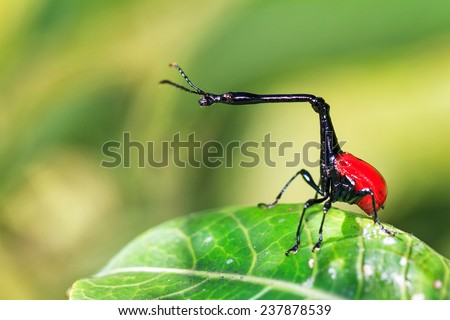 The giraffe weevil (Trachelophorus giraffa) in Andasibe Mantadia National Park, Madagascar - stock photo