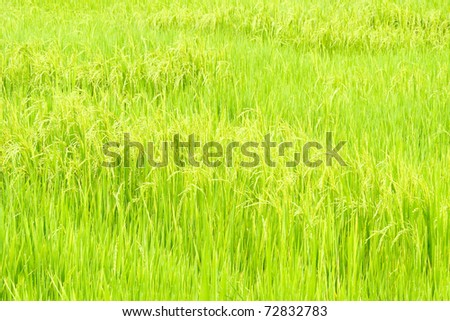 The glow rice field in early morning with dew - stock photo