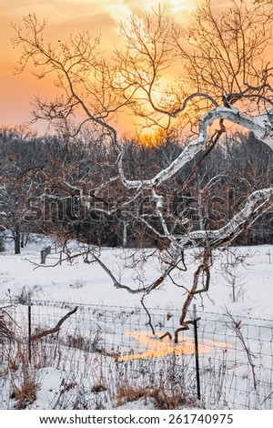 The gnarled branches of a large sycamore tree stretch out over a snowy stream backed by a beautiful golden sunset sky in rural Indiana. - stock photo