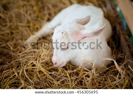 The goat is sleeping on a pile of straw