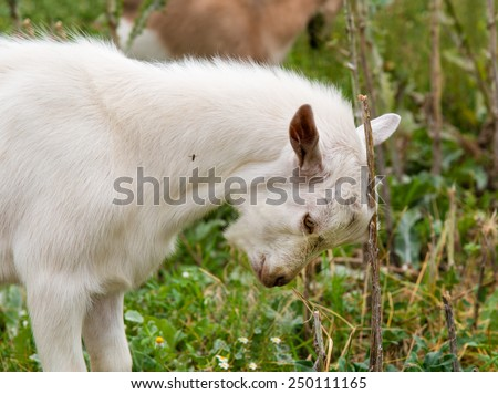 The goat kid  studies to butt.   - stock photo