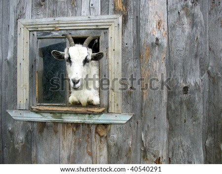 The goat looks out of a window of a shed, poses, elicits meal. - stock photo