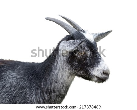 the goat on a white background - stock photo