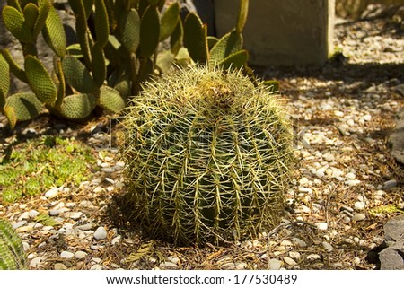The Golden ball cactus( Echinocactus grusonii) - stock photo