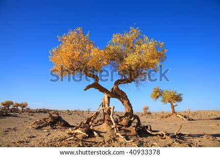 The golden black poplars are standing against the blue sky in the autumn morning of Inner Mongolia, China. - stock photo