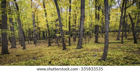 The golden glow of the autumn woods on a late October afternoon.  Fullersburg Woods Forest Preserve, DuPage County, Illinois. - stock photo