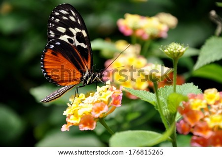 The Golden Helicon Butterfly at his table in the garden Restaurant. - stock photo