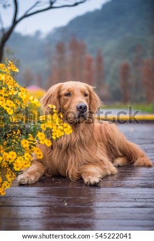 The golden hound in the suburbs