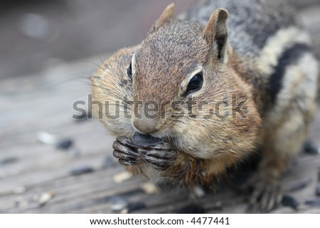 The Golden Mantled Ground Squirrel (Spermophilus lateralis) can be identified by its chipmunk-like stripes and coloration, but unlike chipmunks, it does not have stripes on its face. - stock photo