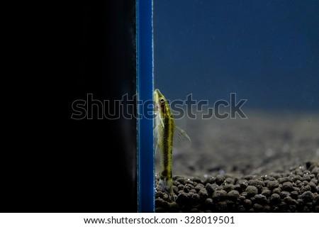 The golden otocinclus (Macrotocinclus affinis, formerly Otocinclus affinis) is one of the smallest known suckermouth catfish, often called a 'dwarf oto'. - stock photo