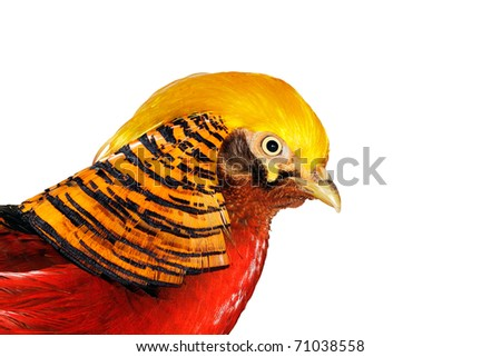 The golden pheasant on a white background. - stock photo