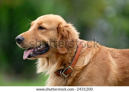 the golden retriever - stock photo