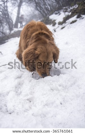 The golden retriever outdoors snow