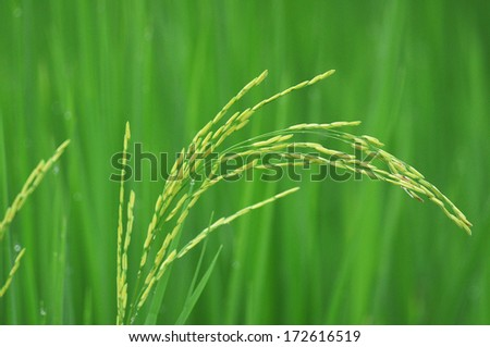 The golden rice. - stock photo