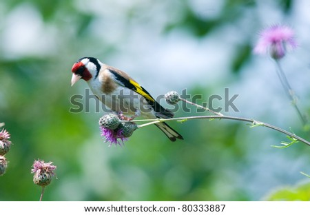 the goldfinch - stock photo