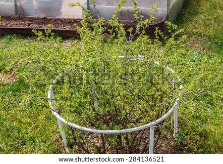 The gooseberry with scientific names Ribes uva-crispa (and syn. Ribes grossularia), is a species of Ribes. Vegetable garden. Household plot. Dacha.  - stock photo