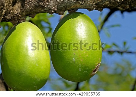 The gourds fruit - stock photo
