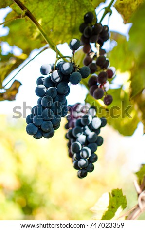 The grapevine grows in the open air in the autumn, ready for gathering