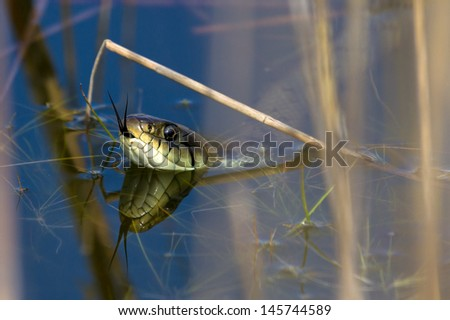The grass snake (Natrix natrix), sometimes called the ringed snake or water snake - stock photo