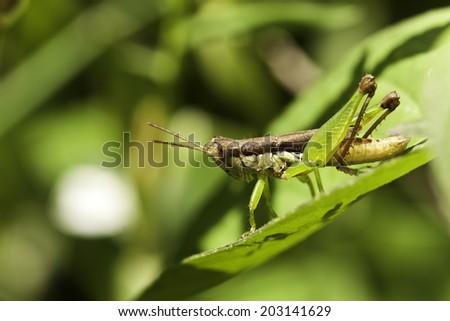 the grasshopper - stock photo