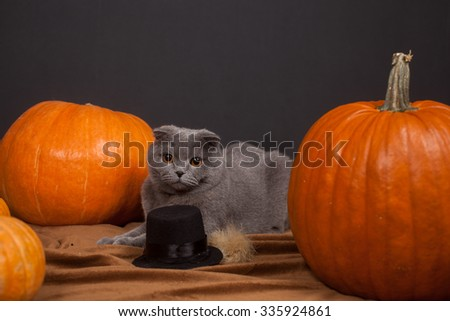 the gray British cat and a lot of pumpkins