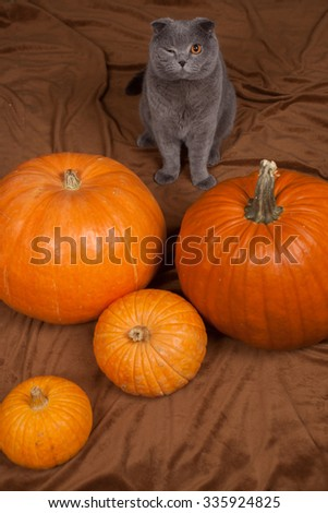 the gray British cat winks and many pumpkins  - stock photo