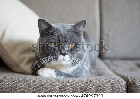 The gray cat lying on the sofa