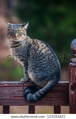 The gray cat on a fence, cat is staring at photographer. - stock photo